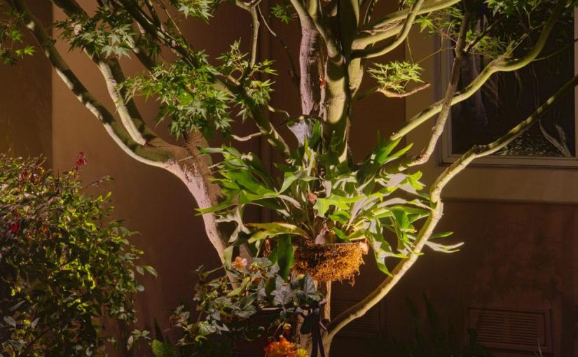 Highlight lighting of Japanese Maple with Staghorn Fern, East Sacramento, CA
