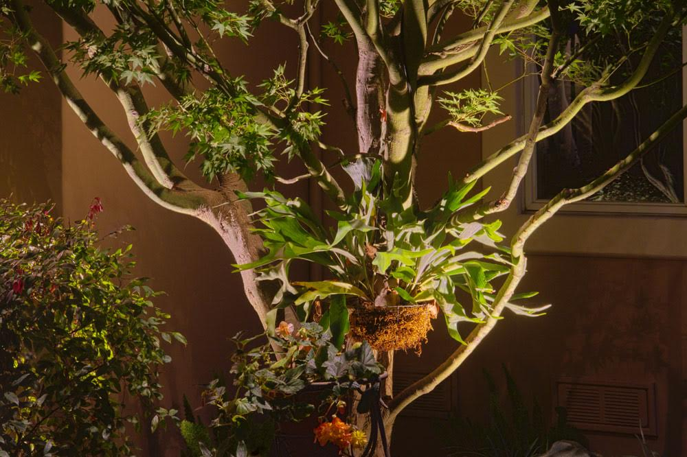 Project 4 – Highlight Feature Lighting Japanese Maple and Staghorn Fern
