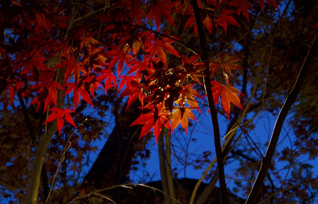 Project 12 – Japanese Maple Red Leaves Highlight