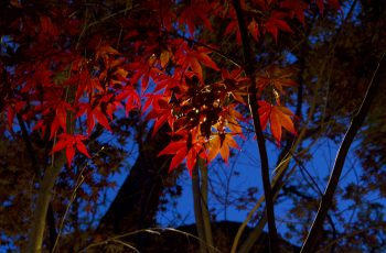 Project 12 - Japanese Maple Red Leaves Highlight