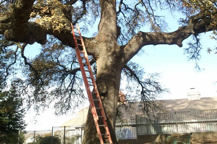 Maintenance 1 – Oak Tree with Tall Ladder
